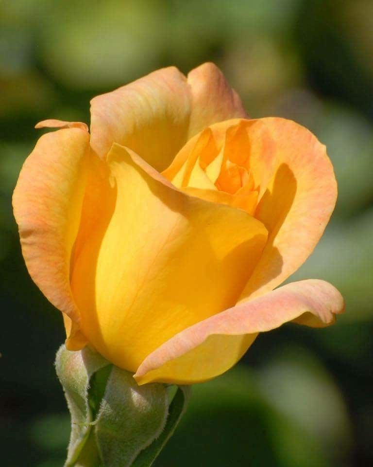 Sarga Tearozsa Orange FlowersYellow RosesAmazing