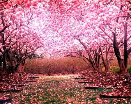 Sakura Flower Origin Legend And Symbolism Arvores Floridas Papel De Parede Paisagens Arvore De Papel De Parede