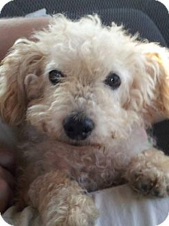 Westminster Md Poodle Miniature Meet Super Scruff A Dog For
