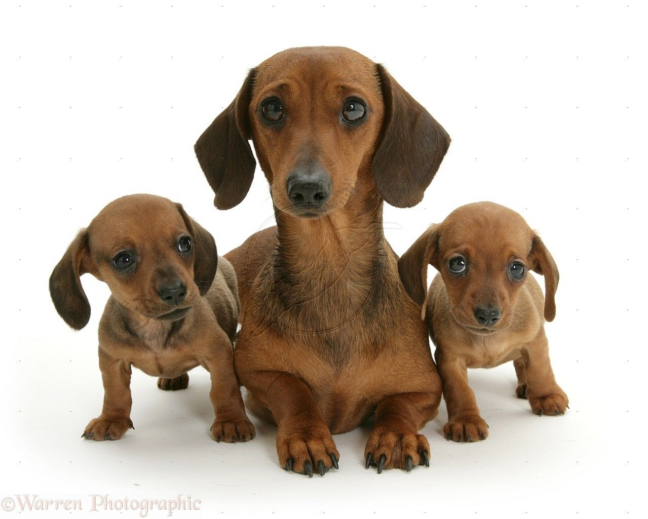 Dachshund Puppies Wp09697 Dachshund Mother And Puppies