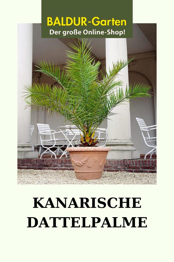 Kanarische Dattelpalme Dattelpalme Kanarische Pflanzentopf In 2020 Pflanzen Palmen Garten Garten