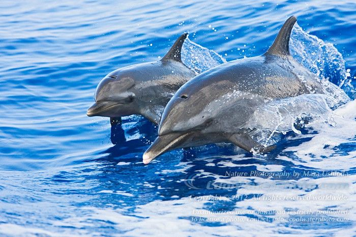 Pantropical Spotted Dolphin mother and calf