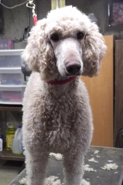 Adopt Monty Adopted On Poodle Dog Dog Love Standard Poodle