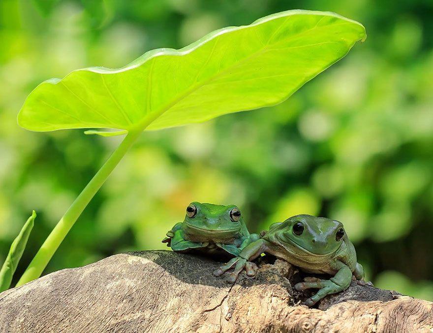 Les magnifiques photos de grenouilles de Tanto Yensen ...