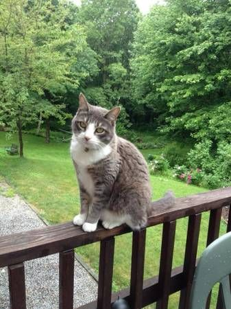 Missing Female Gray And White Cat New Hartford Missing From New