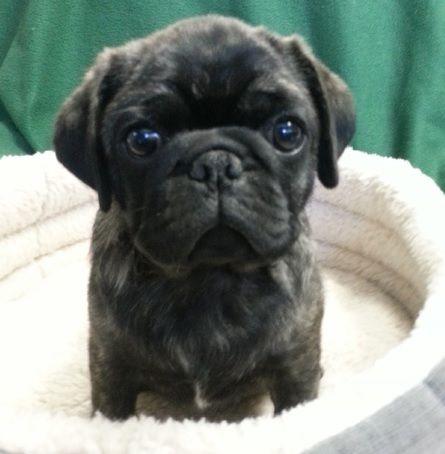Cute Brindle Pug Puppy Baby Pugs Cute Pug Puppies Pet Pug
