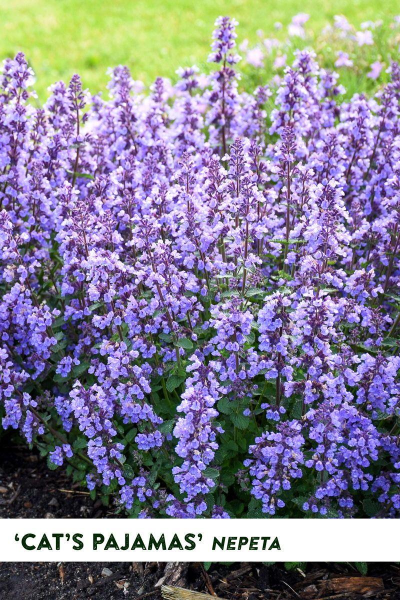 Long Blooming Heat Drought Tolerant Perennial In 2020 Drought Tolerant Perennials Long Blooming Perennials Heat Tolerant Flowers