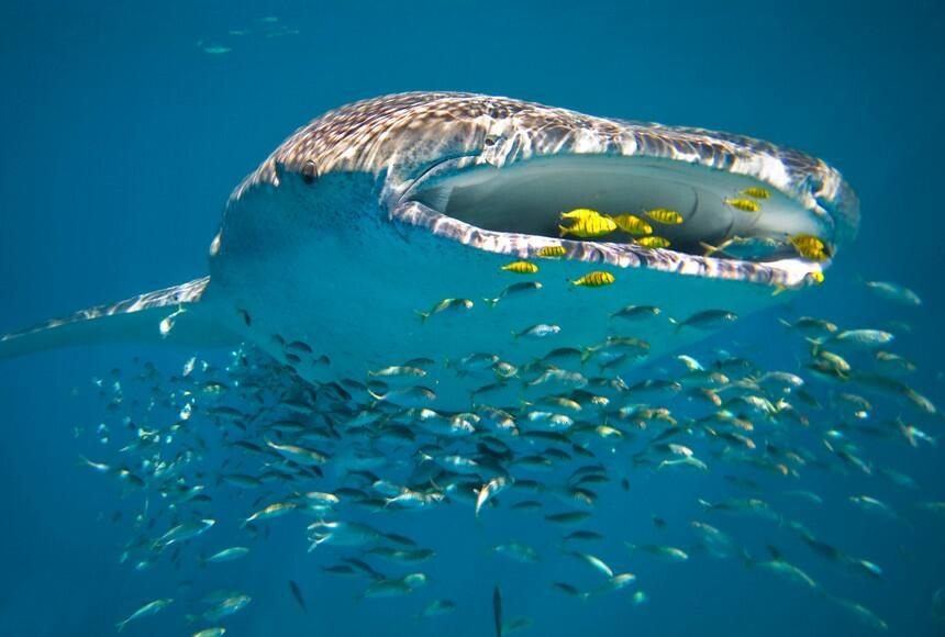 Exmouth and Coral Bay with 11 whale sharks in just one area over Ningaloo Reef -pic.twitter.com/rgBFUZeS59