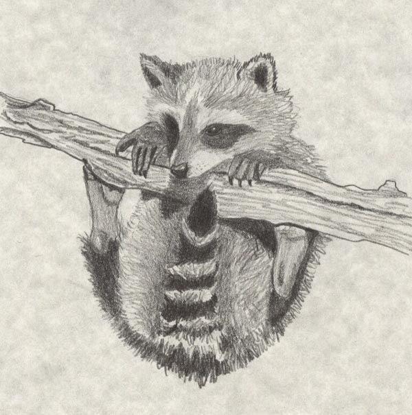 sketches on racoons | Baby Raccoon by Sindah | Art,How to ... Raccoon Drawing