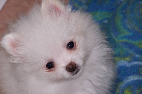 AKC Pomeranian Female