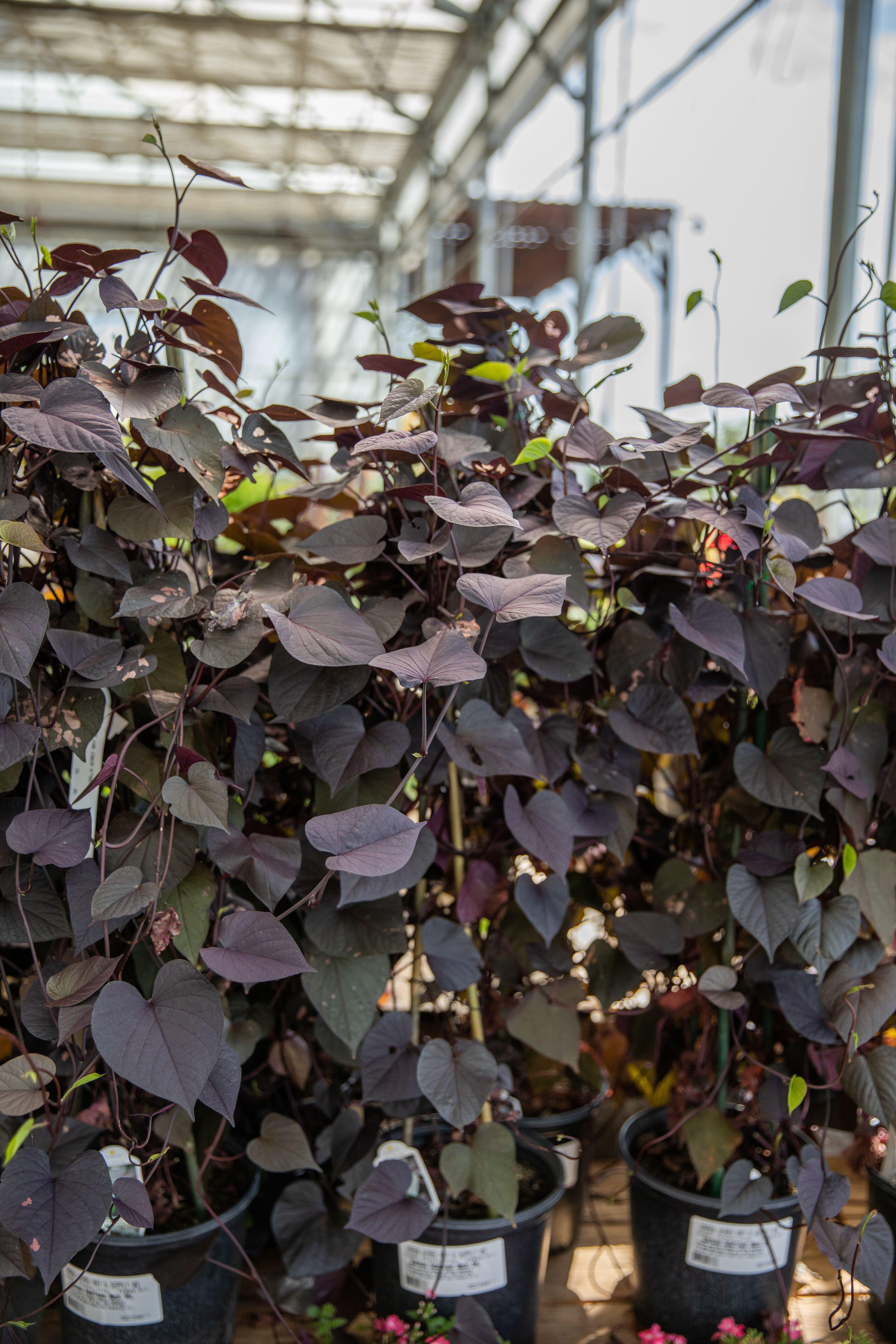Sweet Potato Vine Fall Plants Potato Vines Light Purple Flowers