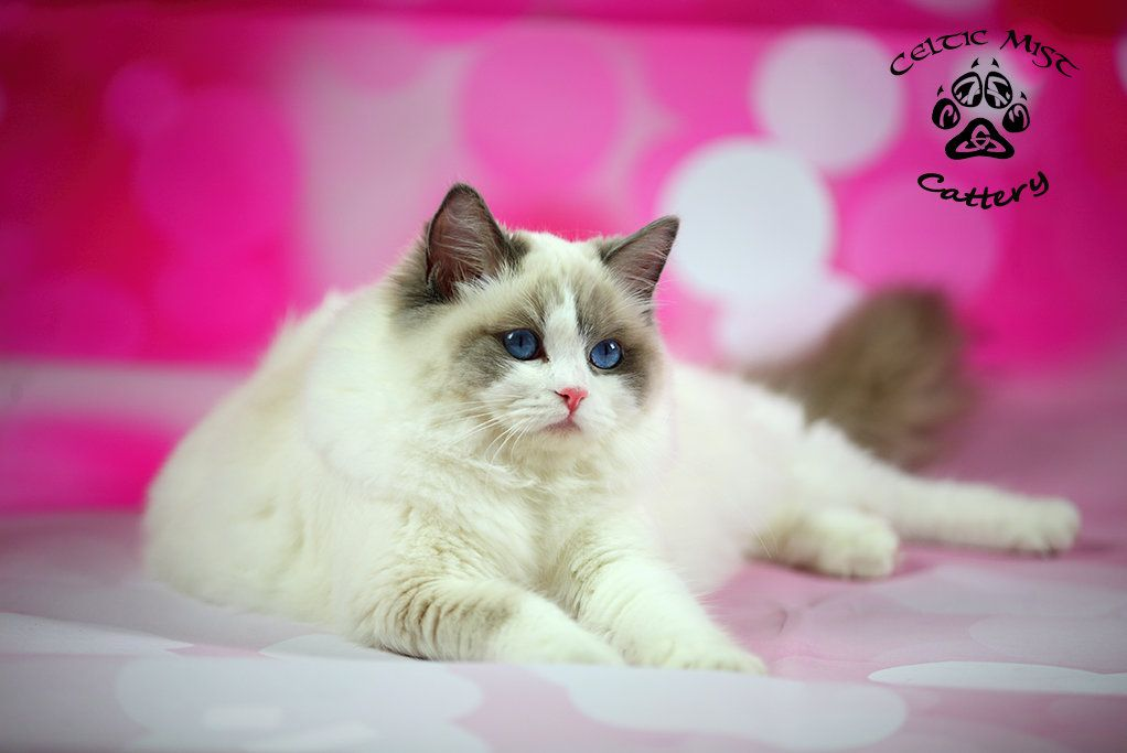 Ragdoll Cat Celtic Mist Cattery Ragdoll Cat Cattery Cats And Kittens