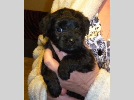 Yorkie Poo Puppies 3 Males In Indiana In Free Indiana Superads