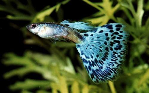 Tetras guppy pleco catfish betta 39 s larvae juvenile for Guppy fish food