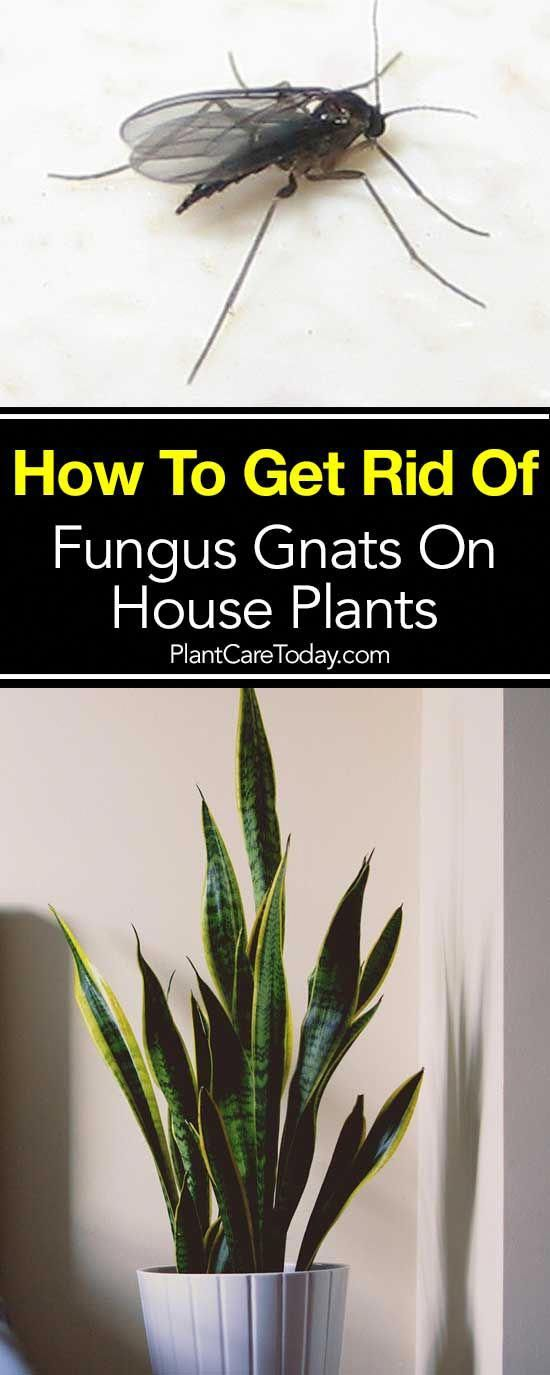 How To Get Rid of Fungus Gnats On House Plants   Plants ...