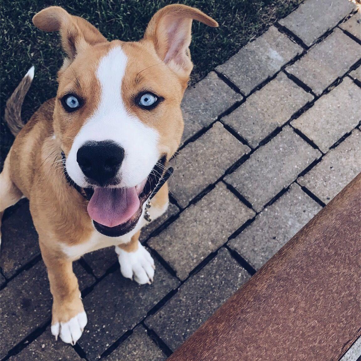 Pitsky Pitbull Mix Puppies Pitbull Husky Husky Mix