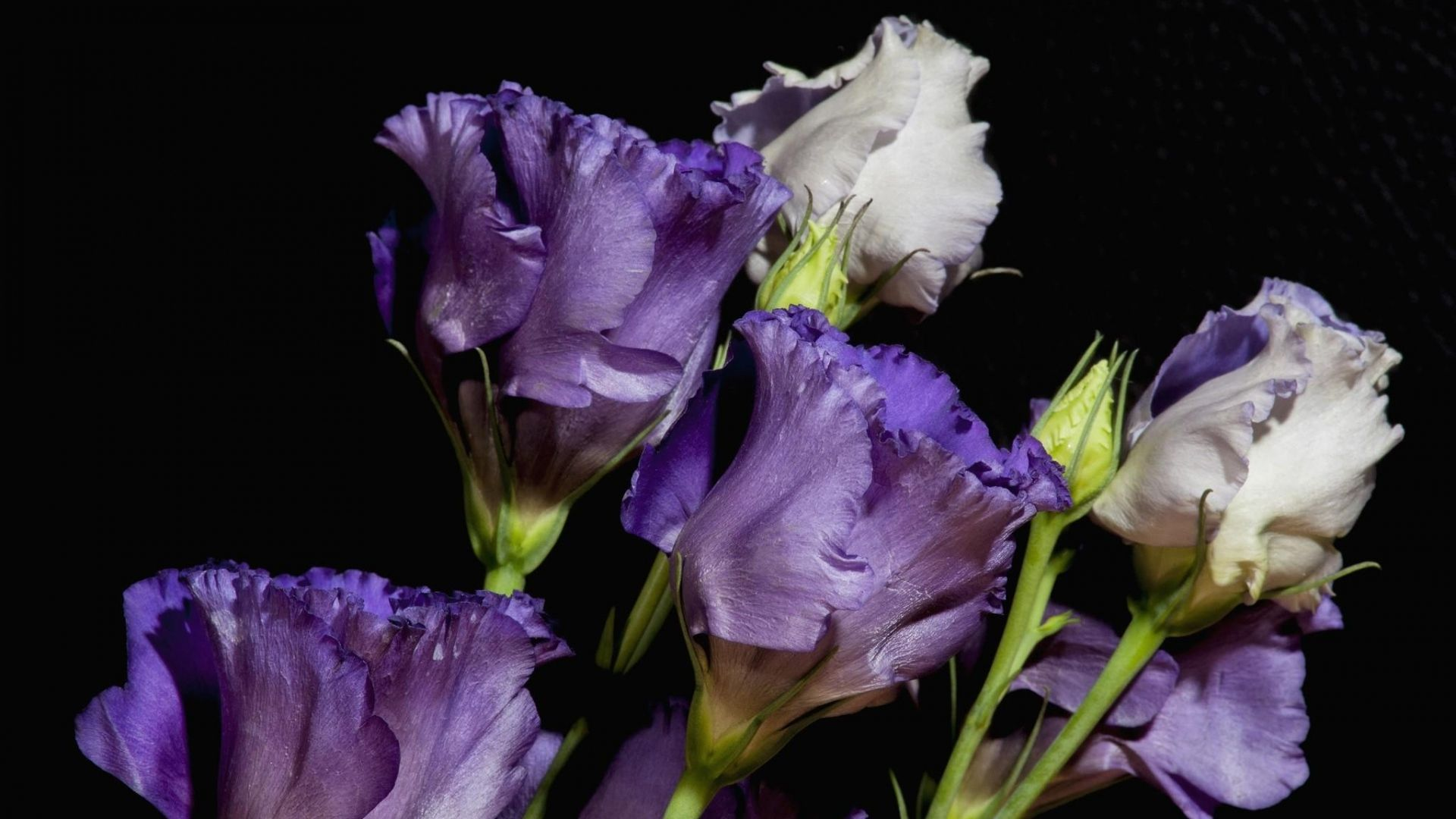 Download Wallpaper 1920x1080 russell lisianthus, eustoma