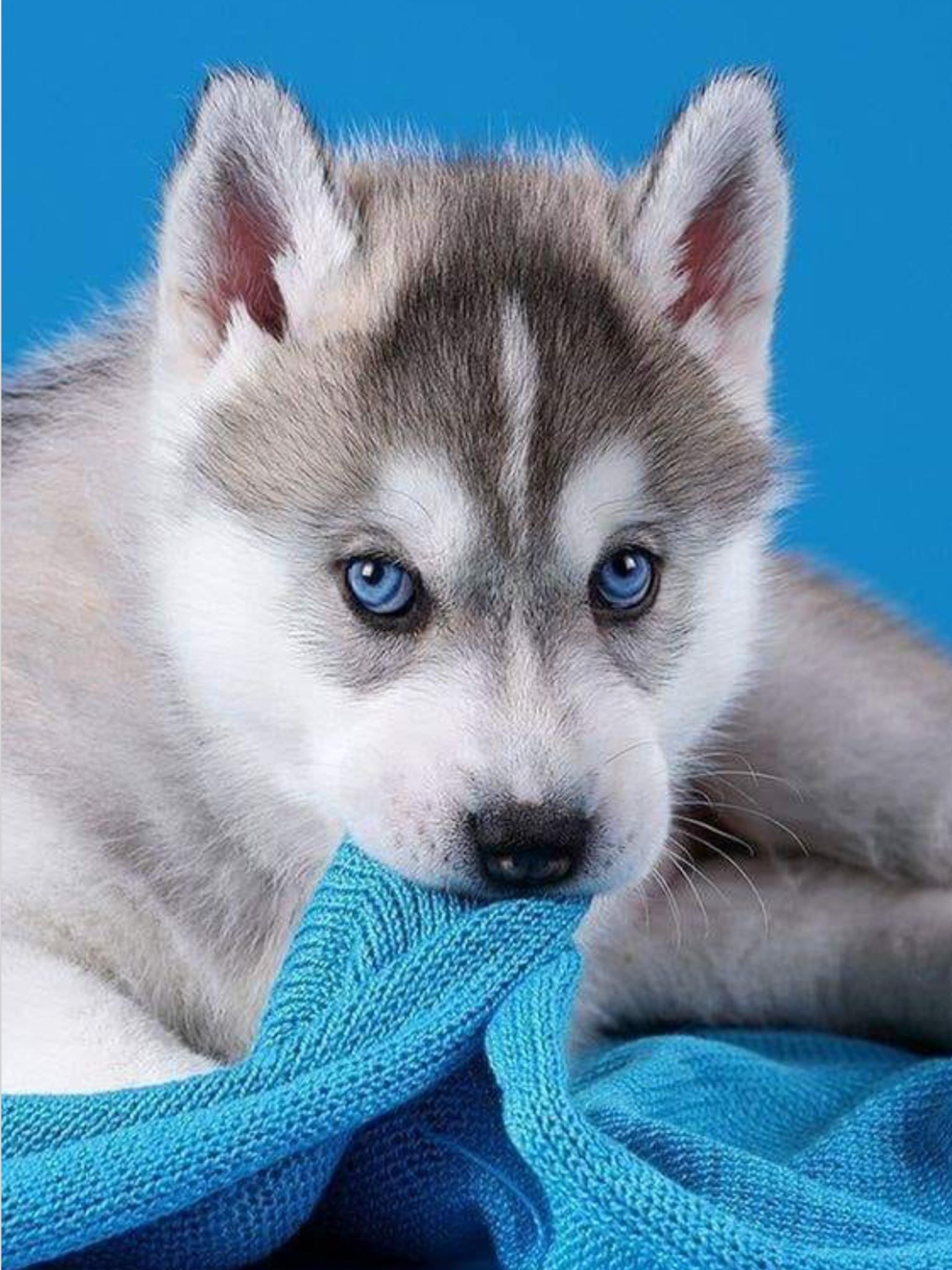 Pin By Kimberly Jo Graue On Too Cute In 2020 Cute Husky Puppies Cute Husky Husky Puppy