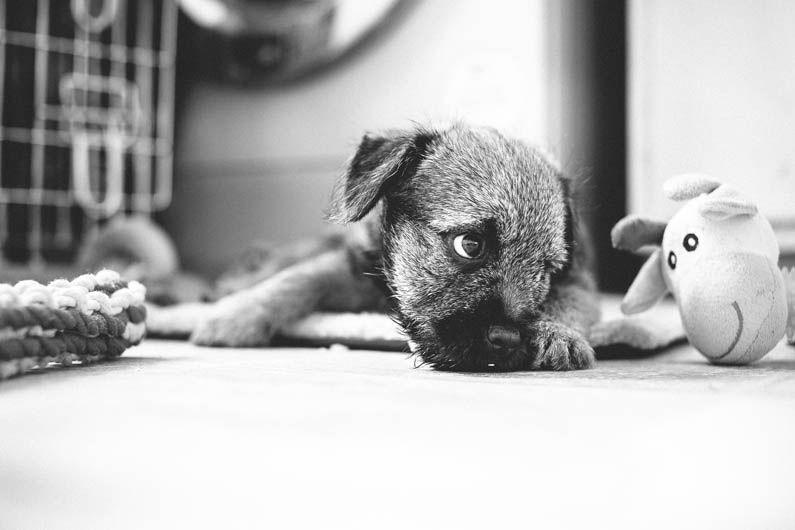 Stackpath Dog Photograph Border Terrier Puppy Border Terrier