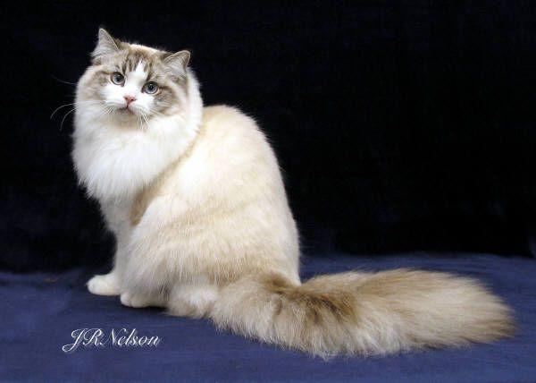Ragamuffin Cat Luvnmuffin Ike Picture Of Quadruple Grand Champion Ragamuffin Cat Cat Breeds Rare Cats