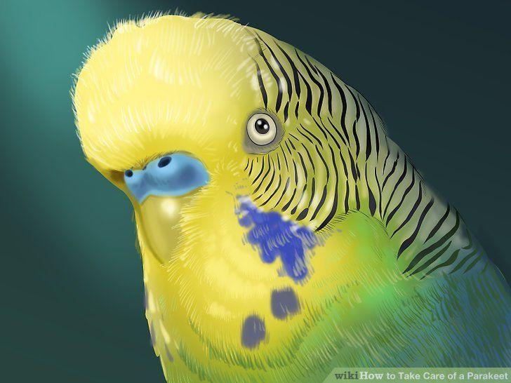 27 hq quality cute parakeet photos parakeet parakeet
