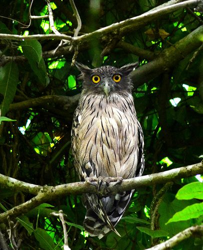 fish owl | birds of prey + wildlife photography