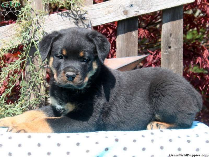 Sophie Rottweiler Puppy For Sale From Rising Sun Md Greenfield