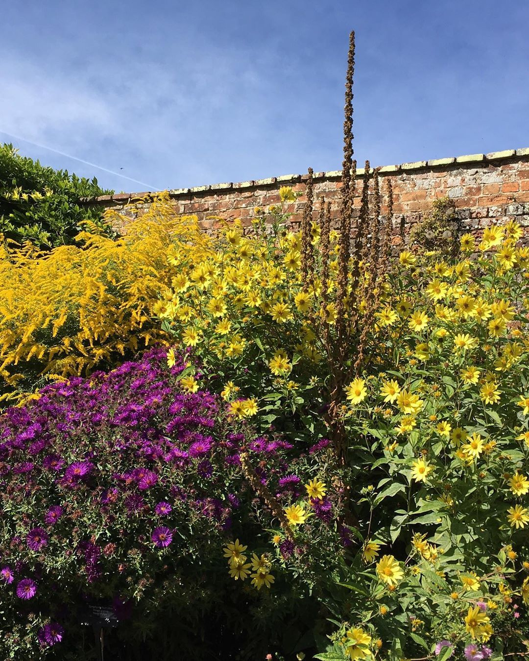Bold and brilliant autumnal thugs together: Golden rod, New England Asters, Helianthus Lemon Queen and a seeded verbascum. .