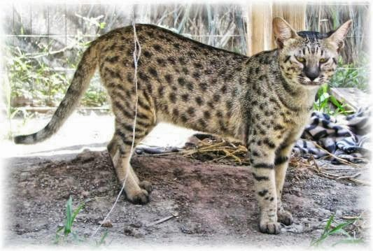 Savannah Cat Bing Images Savannah Cat Savannah Kitten Savannah Cat Breeders