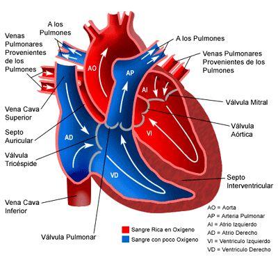 Sistema circulatorio | Anatomía | Pinterest | Sistema circulatorio ...