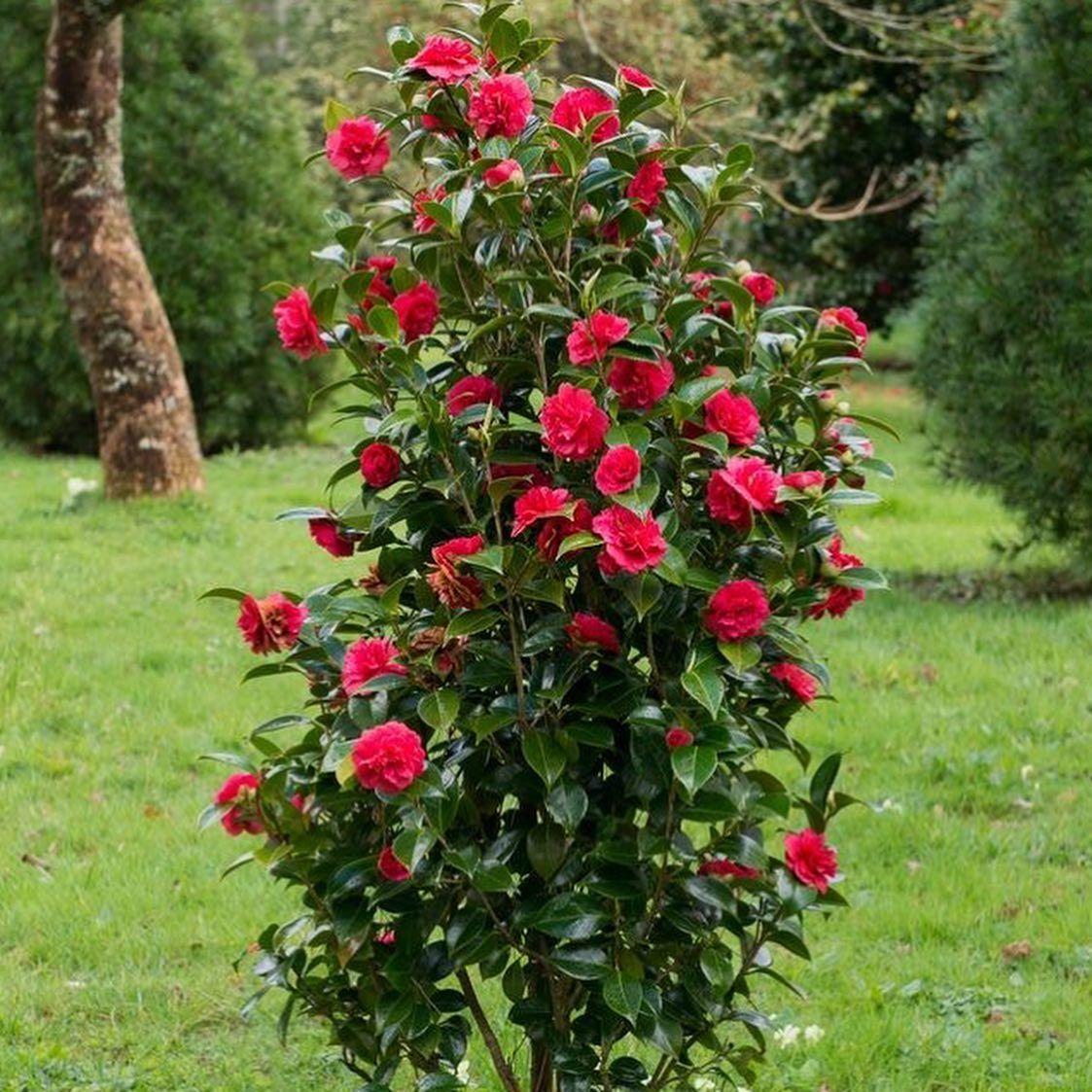 Kamelya Camellia Japonica Bahce Bitkisi Olarak Yetistirilen Kamelya Kasim Mayis Arasi Ciceklendigi Icin Kis Gulu Olarakta Bilinir Donlar Bitki Kamelya Bahce