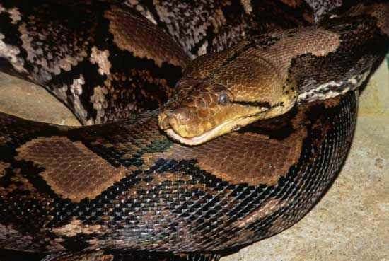 Reticulated Python :: Saint Louis Zoo (With images) | St louis zoo,  Reticulated python, Zoo