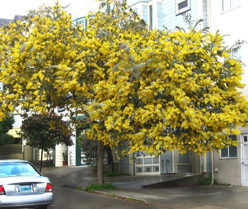 Blue Acacia Tree For Garden Or Vase Acacia Baileyana Acacia