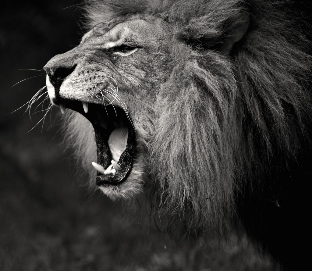 Related Wallpapers From Lion Roar Black And White