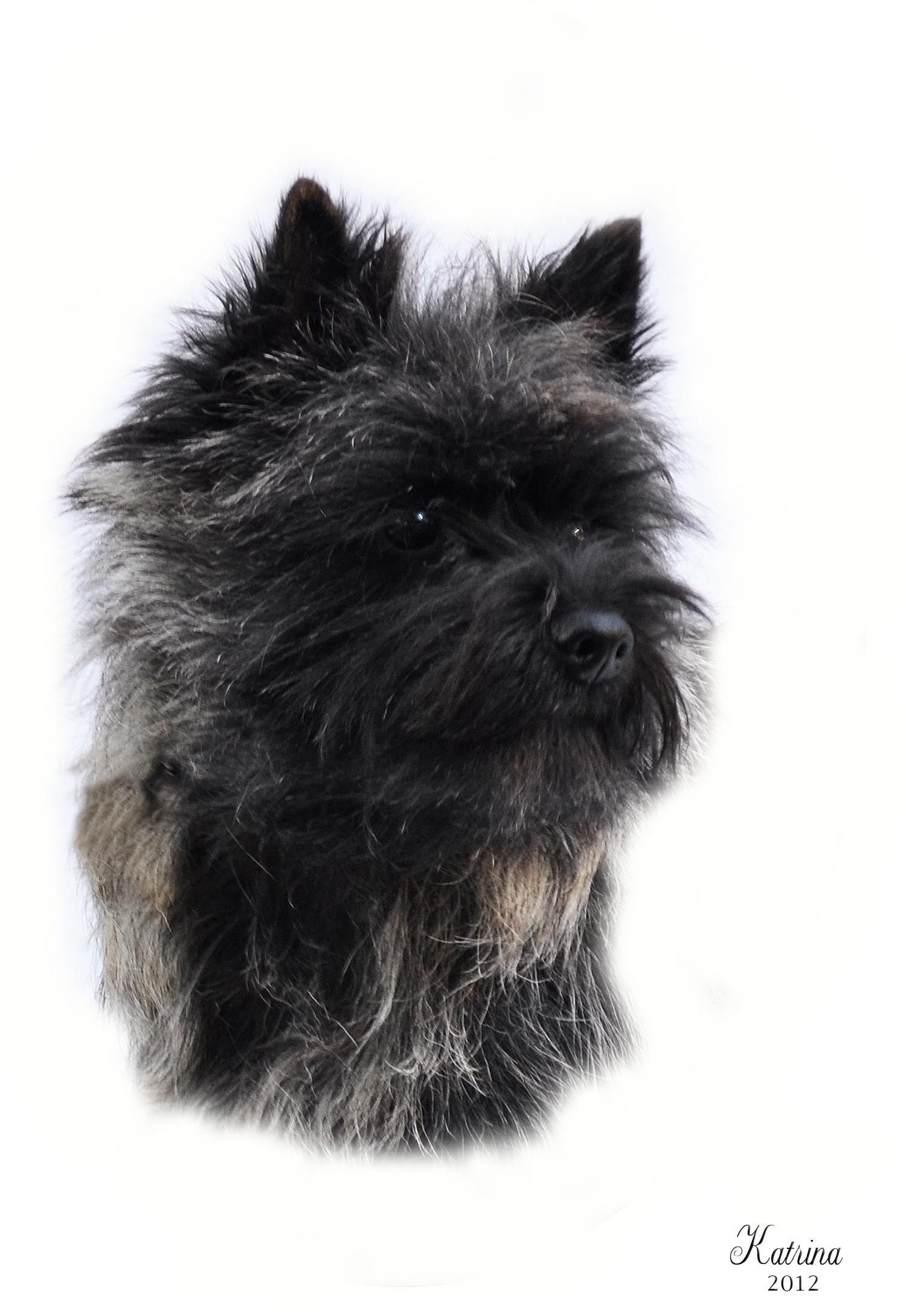 Gallery Cairn Terrier Club Of America Cairn Terrier Puppies