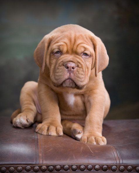 Pup My Dream Doggie Dogue De Bordeaux Mastiff French