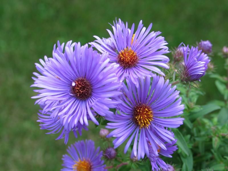 Fall Aster Symphyotrichum Oblongifolium Common Names Aromatic Aster Light Full Sun Part Shade Aster Flower Aster Flower Tattoos Plants