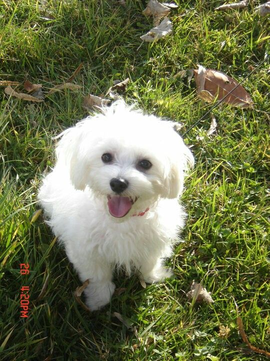 A8hna Athens With Images Maltese Puppy Maltese Dogs Cute Dogs