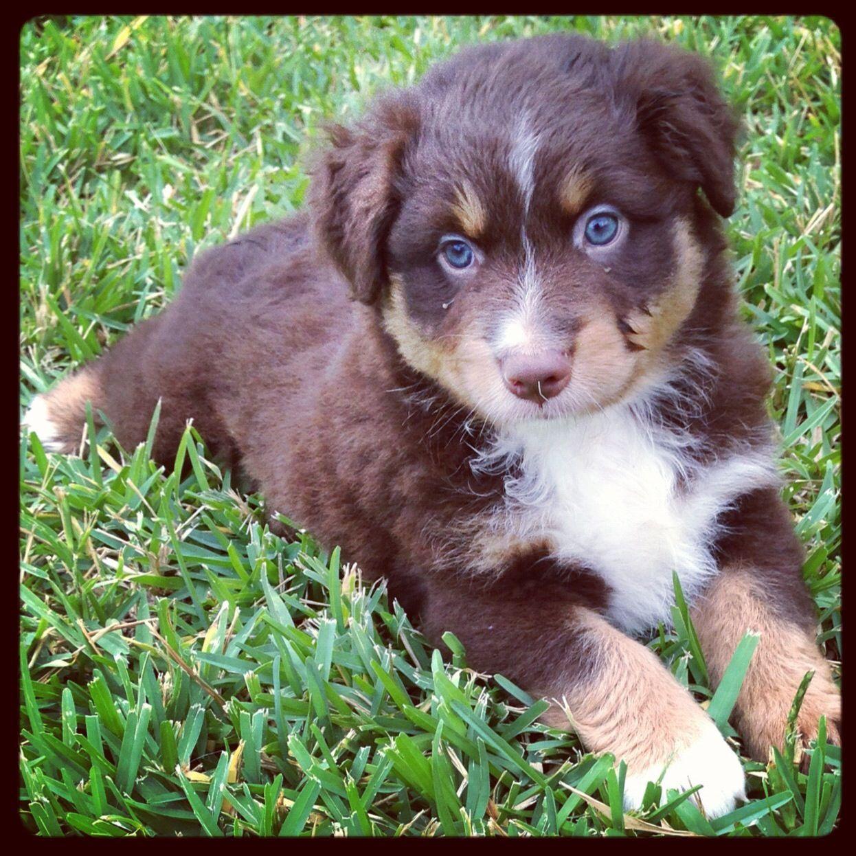 Red tri australian shepherd | Australian shepherd puppies ...