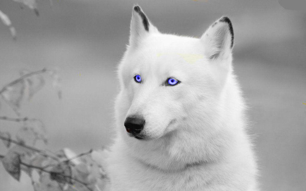 Pretty Edit White Wolf by JumpinWombango on DeviantArt ...