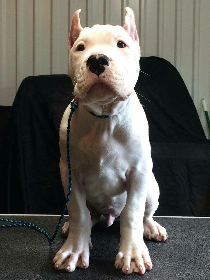9 Week Old Dogo Argentino Puppy Me And My Boyfriend Want One Of