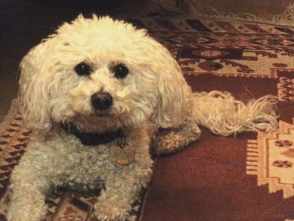 Maltese Dog With Curly White Fur Maltese Dogs Maltese Dogs Care