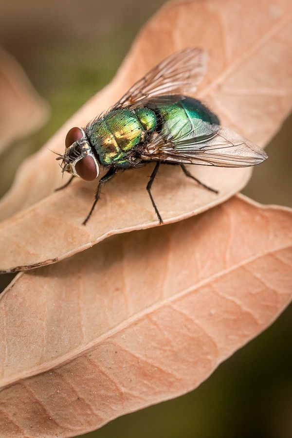 2fe72e2de7c53d70206da6c013b246fa - How To Get Rid Of Common Green Bottle Fly