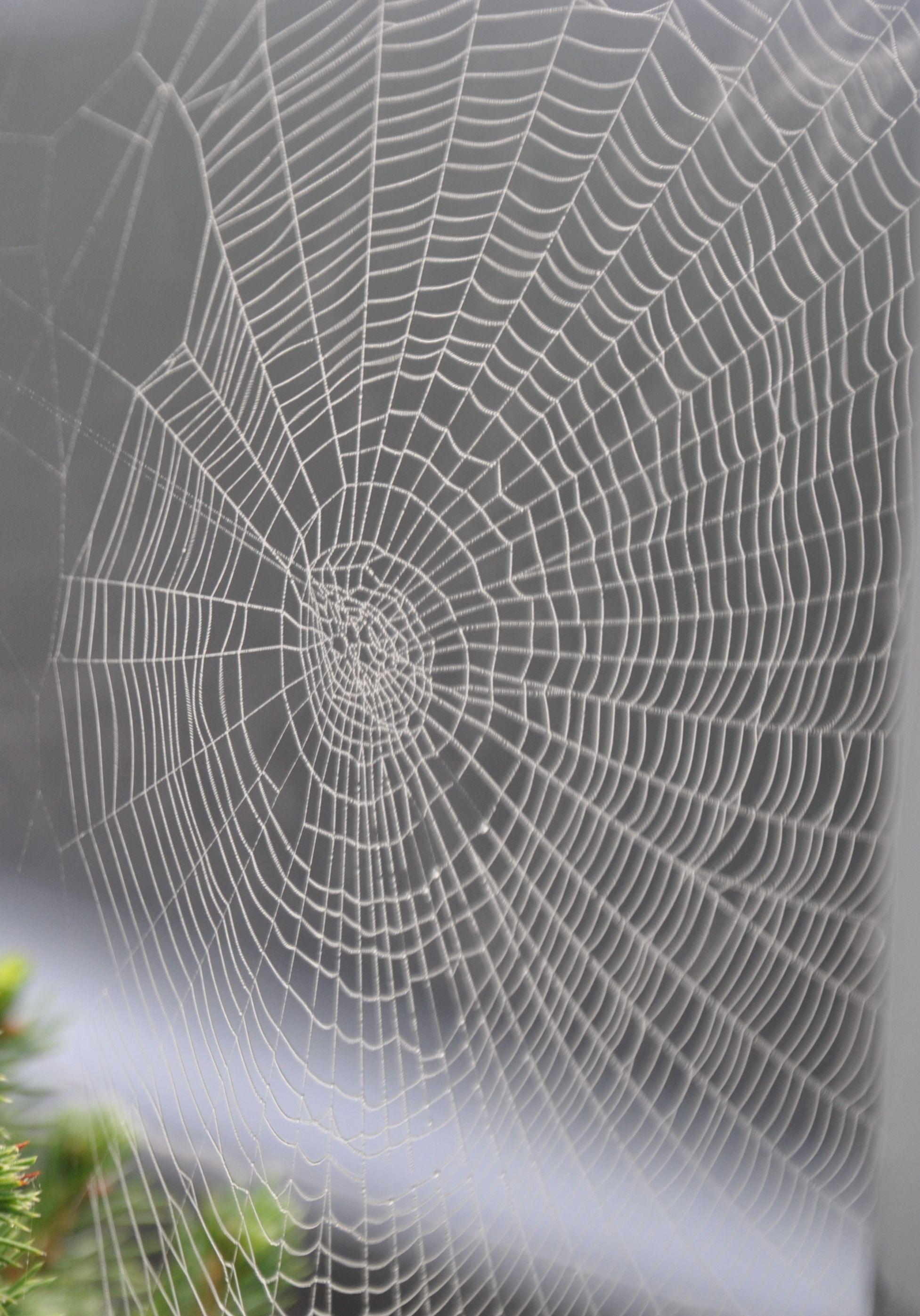 Superweb Orumcek Altin Oran Doga