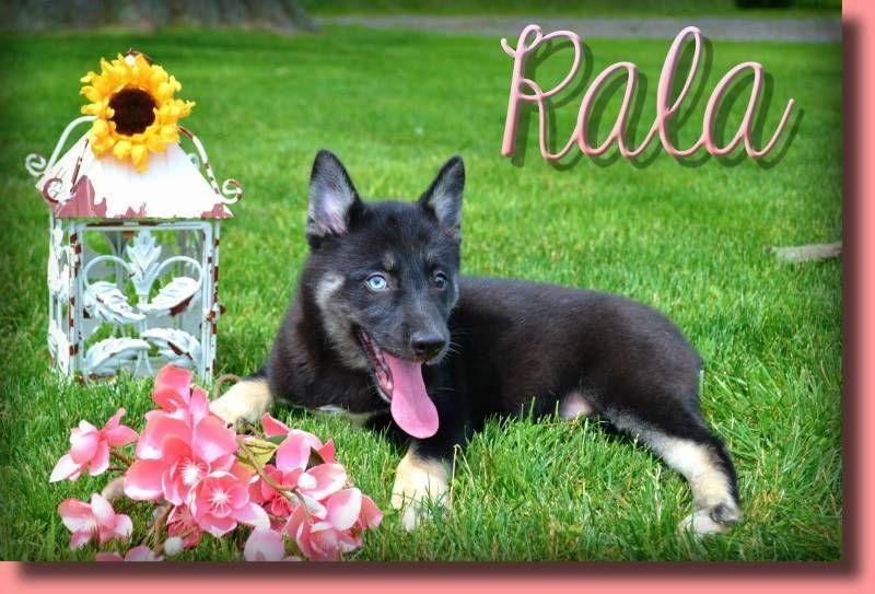 Rala Female Pomsky 600 Pomsky Pomsky Puppies Pomsky Puppies For Sale
