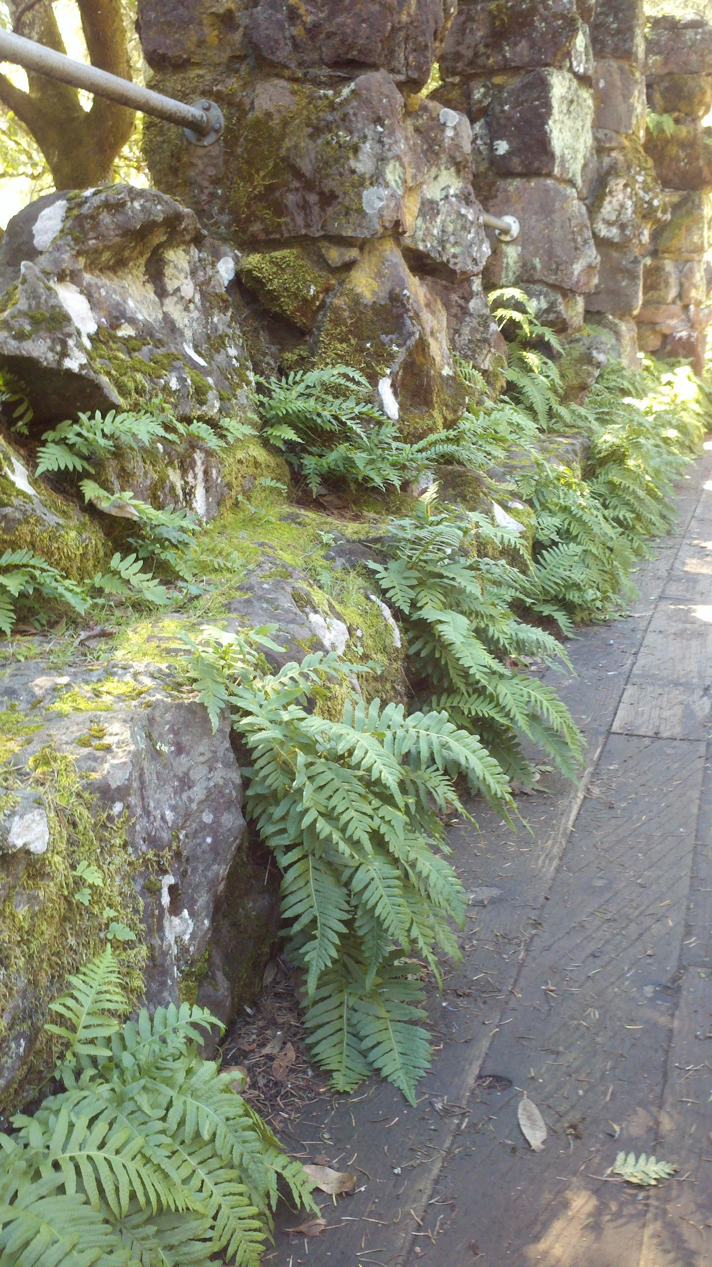 Ferns Growing Wild Along The Wall Of The Ruins Of Jack London S Wolf House Sonoma Ca I Love The Stone Wall Tradgarden