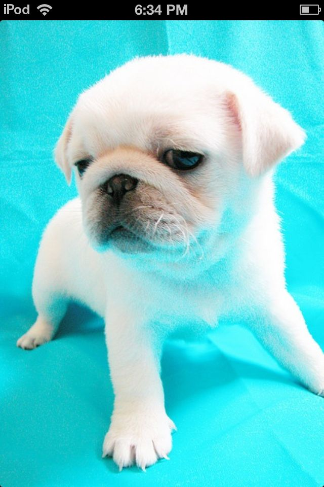 Cutest Dog In The World Baby Pugs White Pug Pug Puppies