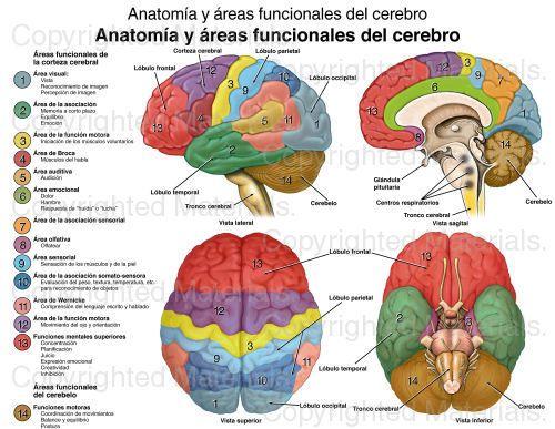 Anatomía y áreas funcionales del cerebro   Educación   Pinterest ...