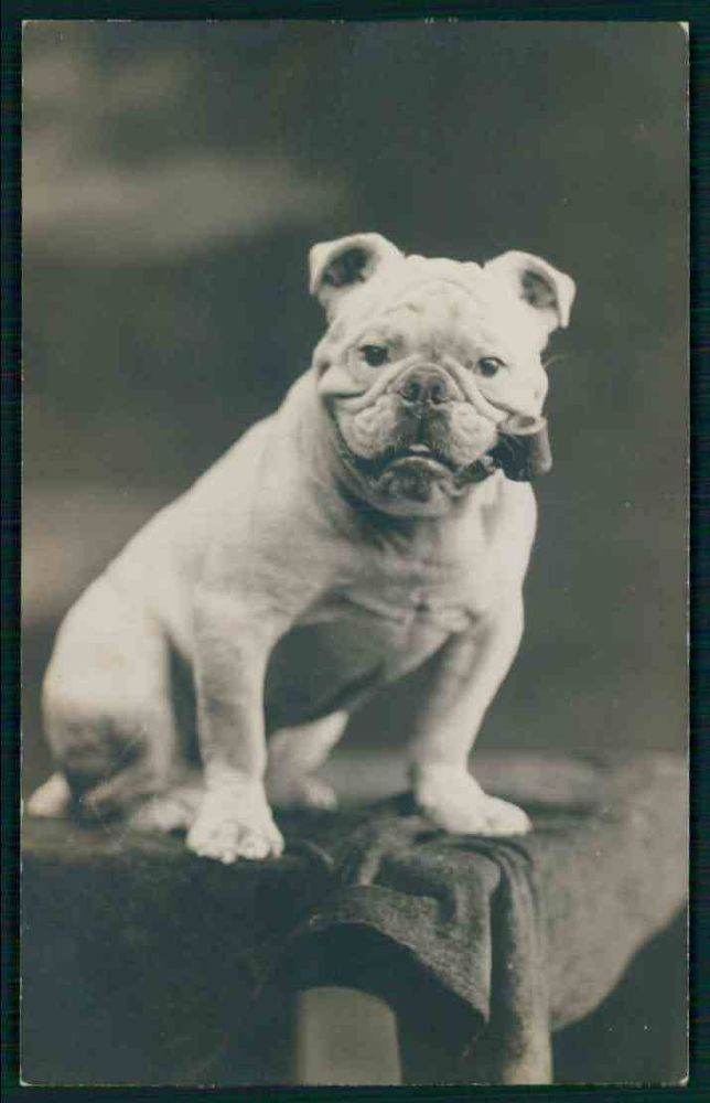Pin On Mostly Vintage Bulldog Pictures And Postcards 2