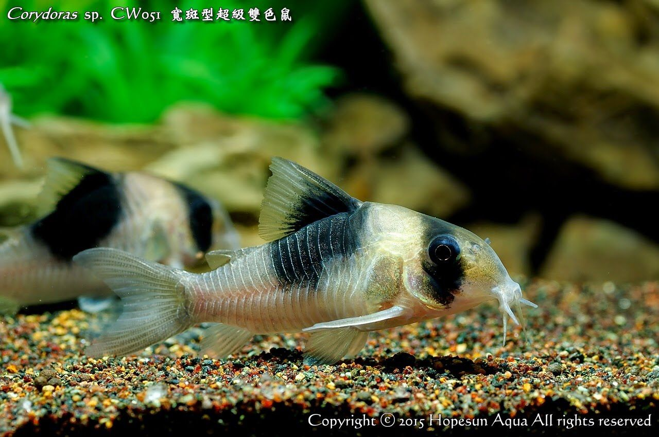 Corydoras Sp New Panda Tropical Fish Ocean Fishing Aquarium Catfish